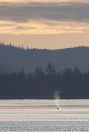 The tail end of a breaching whale far off in the distance