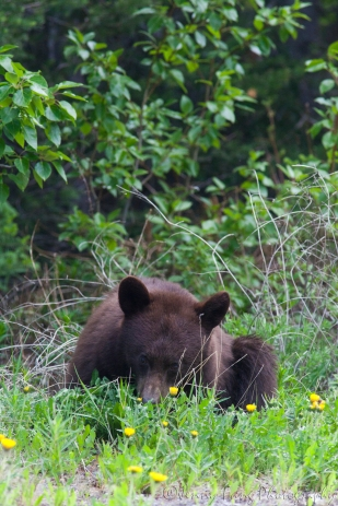 Black bear enjoying the dandelions growing by the road